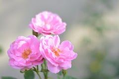 Rosas rosadas rosadas Foto de archivo