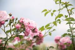 Rosas rosadas y abeja minúscula Fotografía de archivo