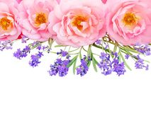 Rosas rosadas y ramo abiertos rizados de la lavanda aislado en blanco foto de archivo libre de regalías