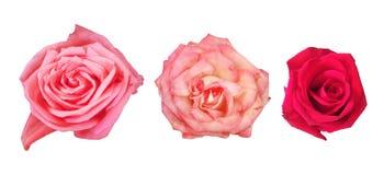 Rosas rosadas y rojas hermosas aisladas Conjunto de flores Imagen de archivo libre de regalías