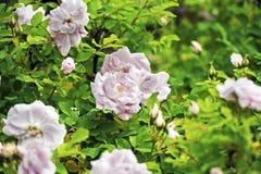 Rosas rosas claras Fotografía de archivo