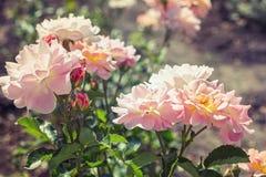 Rosas rosas claras en el jardín Imagen de archivo libre de regalías