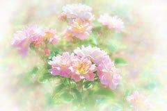 Rosas rosas claras en el jardín Imagen de archivo