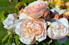 Rosas rosas claras en la plena floración Imágenes de archivo libres de regalías