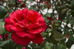 Rosas, rosas do símbolo do amor, rosas cor-de-rosa para o dia dos amantes, rosas naturais no jardim Foto de Stock Royalty Free