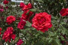 Rosas, rosas do símbolo do amor, rosas cor-de-rosa para o dia dos amantes, rosas naturais no jardim Foto de Stock