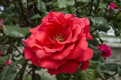 Rosas, rosas do símbolo do amor, rosas cor-de-rosa para o dia dos amantes, rosas naturais no jardim Fotografia de Stock