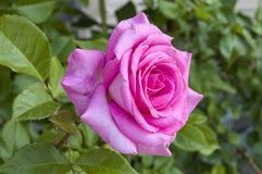 Rosas, rosas do símbolo do amor, rosas cor-de-rosa para o dia dos amantes, rosas naturais no jardim Imagens de Stock