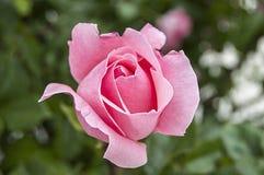 Rosas, rosas do símbolo do amor, rosas cor-de-rosa para o dia dos amantes, rosas naturais no jardim Fotos de Stock Royalty Free