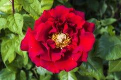 Rosas, rosas do símbolo do amor, rosas vermelhas para o dia dos amantes, rosas naturais no jardim Imagens de Stock Royalty Free