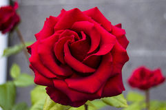 Rosas, rosas do símbolo do amor, rosas vermelhas para o dia dos amantes, rosas naturais no jardim Foto de Stock Royalty Free