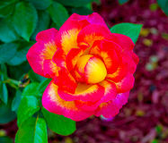 rosas Rosas rojas Ciérrese para arriba en rosas rojas Imagenes de archivo