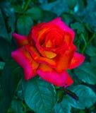 rosas Rosas vermelhas Fotografia de Stock