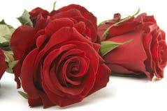 Rosas roxas fotografia de stock royalty free