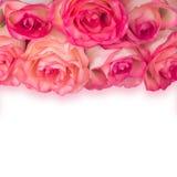 Rosas Salmon com sombra Foto de Stock