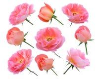 Rosas Salmon e botões ajustados Fotografia de Stock
