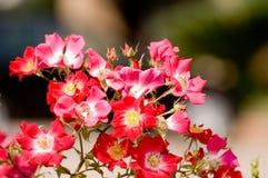 Rosas salvajes Foto de archivo