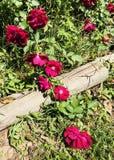 Rosas salvajes fotos de archivo