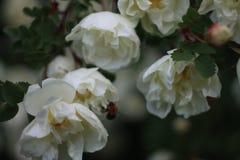 Rosas salvajes mullidas en la tarde Fotos de archivo