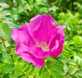 Rosas salvajes rosadas Imágenes de archivo libres de regalías