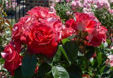 Rosas San Jose Rose Garden de Cinco de Mayo Floribunda, San Jose, Ca Fotos de Stock