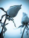 Rosas secadas imagens de stock