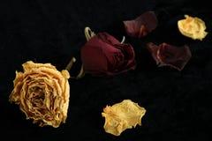 Rosas secadas Fotografia de Stock