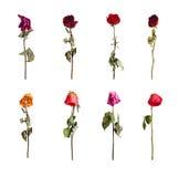 Rosas secadas de cores diferentes Fotografia de Stock