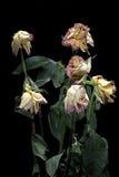 Rosas secas Foto de Stock