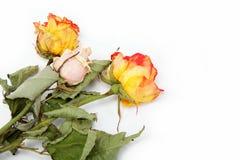 Rosas secas en un blanco. Foto de archivo