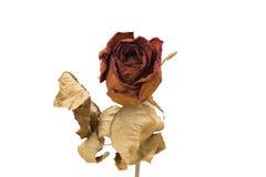 Rosas secas vermelhas em um fundo branco Fotografia de Stock