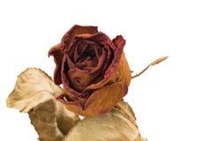 Rosas secas vermelhas em um fundo branco Fotos de Stock Royalty Free