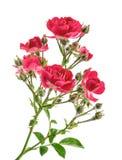 Rosas selvagens isoladas sem sombra fotos de stock