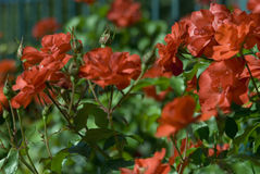 Rosas surpreendentes Imagem de Stock