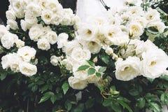 Rosas trançadas espessas brancas no jardim no fundo do close up velho de pedra da casa em um dia de verão ensolarado, botões de f imagens de stock