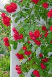 Rosas trepadores Foto de archivo libre de regalías