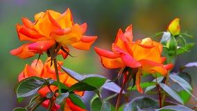 Rosas tropicales anaranjadas coloridas almacen de metraje de vídeo