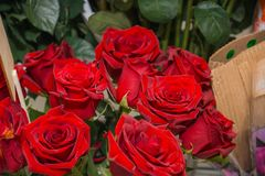 Rosas vermelhas É muitas rosas vermelhas Imagens de Stock
