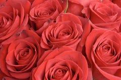 Rosas vermelhas Fotografia de Stock