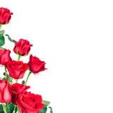 Rosas vermelhas foto de stock
