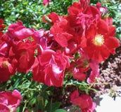Rosas vermelhas antiquados com centros amarelos, na flor completa Imagens de Stock Royalty Free