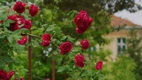 Rosas vermelhas bonitas filme