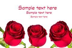 Rosas vermelhas bonitas Fotos de Stock Royalty Free