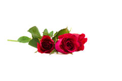 Rosas vermelhas bonitas foto de stock