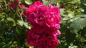 Rosas vermelhas bonitas Imagem de Stock