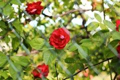 Rosas vermelhas bonitas Rosas de Bush Foto abstrata imagens de stock
