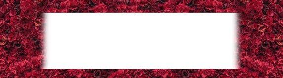 Rosas vermelhas bonitas Parede da flor Close-up de rosas vermelhas enormes Lugar para o texto foto de stock royalty free