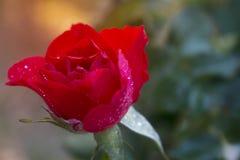 Rosas vermelhas brilhantes com o sol das gotas e da manhã da água fotos de stock
