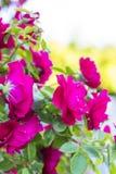 Rosas vermelhas chiques Bush de rosas vermelhas Fotos de Stock Royalty Free