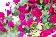 Rosas vermelhas chiques Bush de rosas vermelhas Foto de Stock